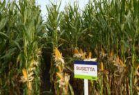 NASIONA KUKURYDZY kukurydza SUSETTA FAO 240-250 SAATEN UNION