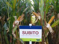 NASIONA KUKURYDZY kukurydza SUBITO FAO 260