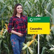 Nasiona kukurydzy CASANDRO FAO 240-250 NOWOŚĆ  ZIARNOWY HIT 2018