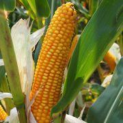 Nasiona kukurydzy FABRIKANT FAO 240 NOWOŚĆ  KISZONKOWY HIT