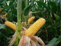 Nasiona Kukurydzy SUSANN  FAO 260-280 kukurydza na ziarno