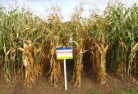 NASIONA KUKURYDZY kukurydza SYSTEM 230