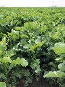 Rzepak ozimy RGT Amazzonite F1 - nasiona rzepaku hybryda