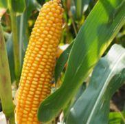 Nasiona kukurydzy FABELL FAO 230-240