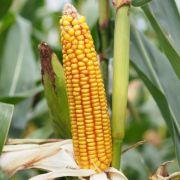 Nasiona kukurydzy DUBLINO FAO 260 SAATBAU