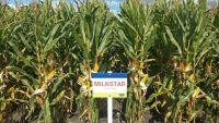 Nasiona Kukurydzy Milkstar  FAO 220
