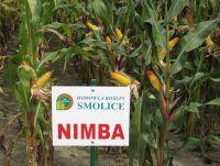 Nasiona kukurydzy NIMBA  FAO 260
