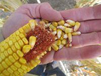 Nasiona Kukurydzy SUDOR  FAO 250 kukurydza