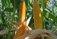 Nasiona Kukurydzy SURPRIME NOWOŚĆ FAO 260