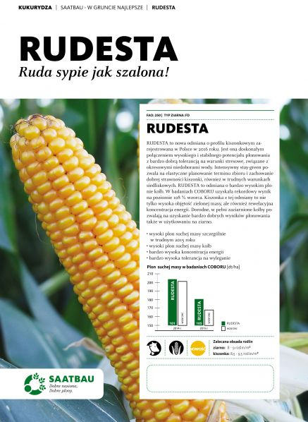 Nasiona kukurydzy RUDESTA FAO 250 Ruda sypie jak szalona