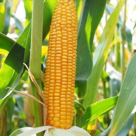 Nasiona kukurydzy BAYLERO FAO 250 Nowość
