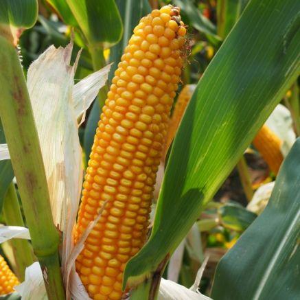Nasiona kukurydzy FABRIKANT FAO 240 NOWOŚĆ