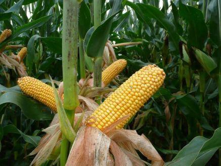 Nasiona kukurydzy PROPHET FAO 230-240 OSEVA NOWOŚĆ