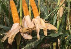 NASIONA KUKURYDZY kukurydza PRESTOL FAO 250-240 NOWOŚĆ