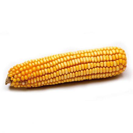 Nasiona kukurydz ES Faraday FAO 270-280 NOWOŚĆ