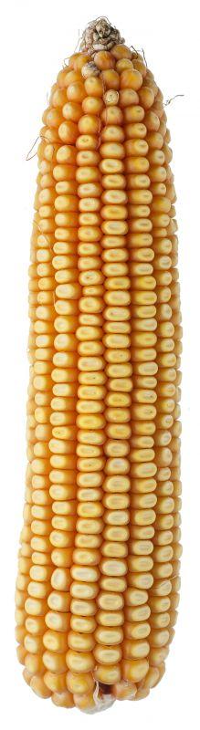Nasiona kukurydzy SM PIAST FAO 280 SMOLICE